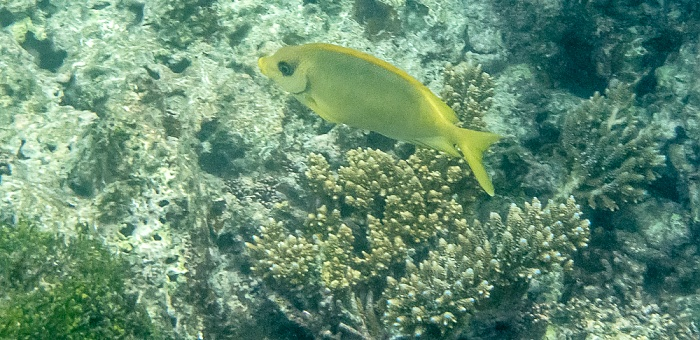 Praslin Baie Sainte Anne (Indischer Ozean): Korallen-Kaninchenfisch (Siganus corallinus)
