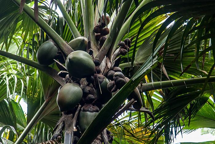 Praslin Vallée de Mai: Seychellenpalme (Coco de Mer, Lodoicea maldivica) - Weiblicher Blütenstand mit unreifen Früchten