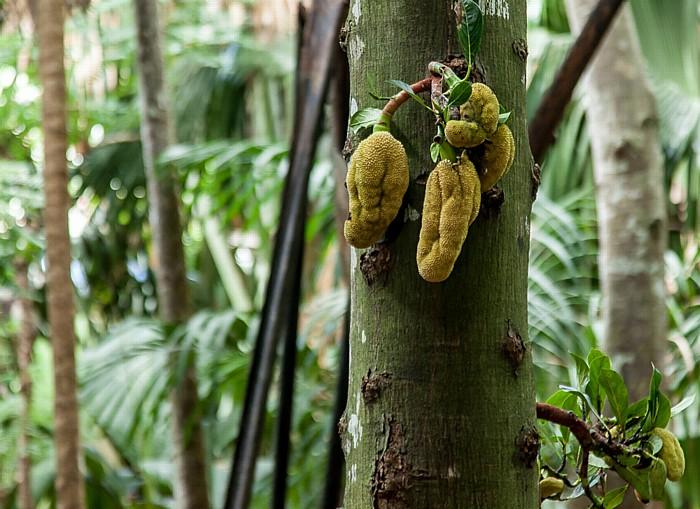 Praslin Vallée de Mai: Jackfruchtbaum (Artocarpus heterophyllus)