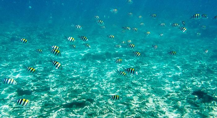 Indischer Ozean Vor Île St. Pierre: Indo-Pazifische Feldwebelfische (Abudefduf vaigiensis)
