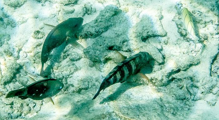 Indischer Ozean Vor Île St. Pierre: Papageifisch (Seepapagei, Scarinae) (links) und Gitter-Doktorfisch (Acanthurus triostegus)