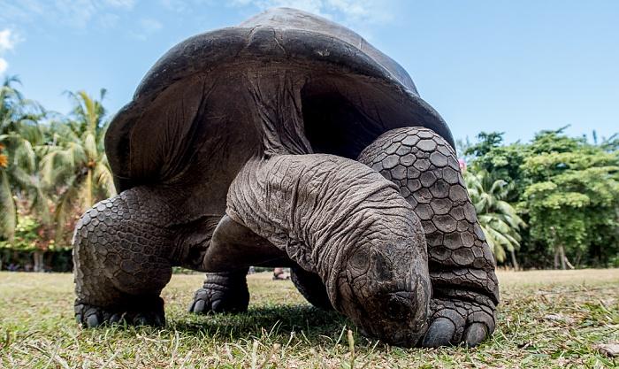 Curieuse Aldabra-Riesenschildkröte (Aldabrachelys gigantea)