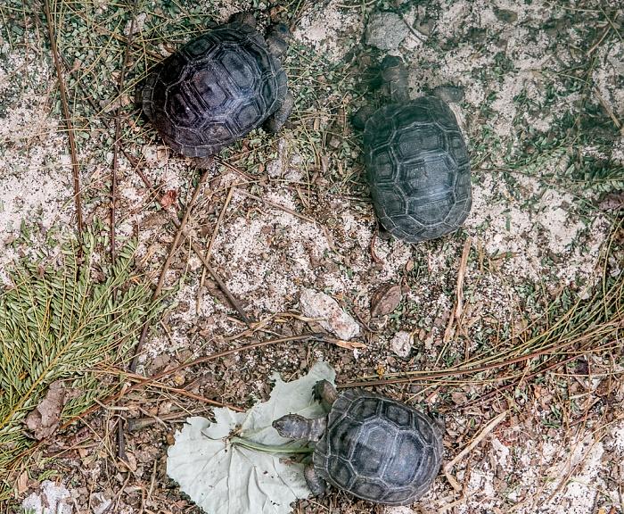 Curieuse Junge Aldabra-Riesenschildkröten (Aldabrachelys gigantea) in der Aufzuchtfarm