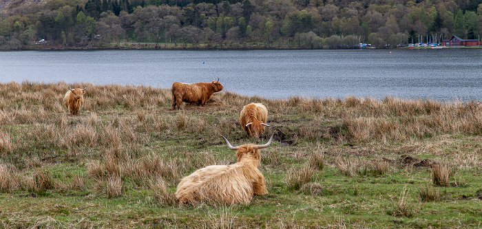 Loch Venachar Loch Lomond and The Trossachs National Park: Schottische Hochlandrinder (Highland Cattle, Kyloe)