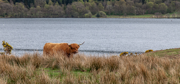 Loch Venachar Loch Lomond and The Trossachs National Park: Schottisches Hochlandrind (Highland Cattle, Kyloe)