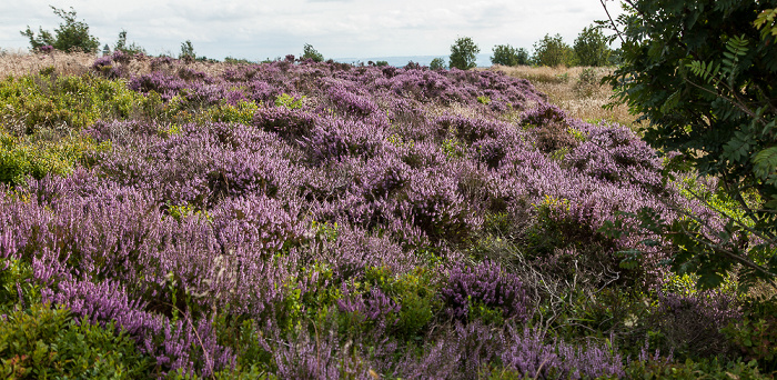 North York Moors National Park Tabular Hills: Hole of Horcum (Tal des Levisham Beck) - Heidekräuter (Erica)