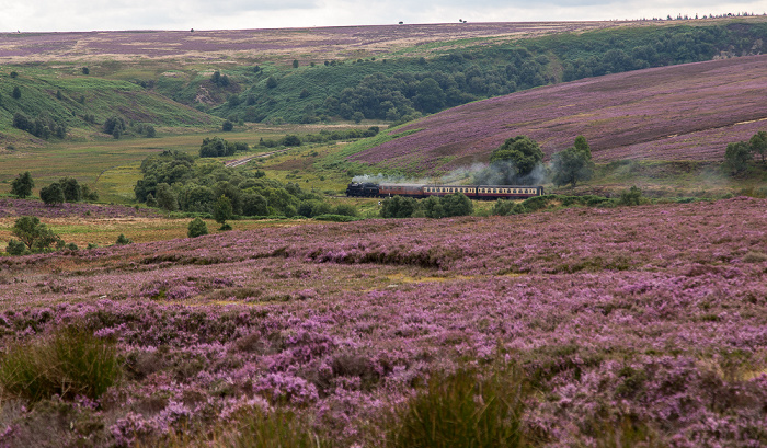 North York Moors National Park Goathland Moor: Heidekräuter (Erica) North Yorkshire Moors Railway