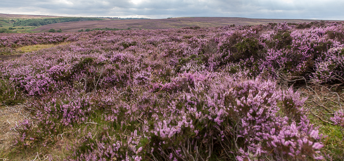 North York Moors National Park Goathland Moor: Heidekräuter (Erica)