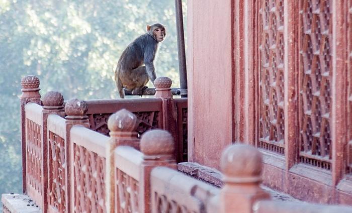 Agra Pavian