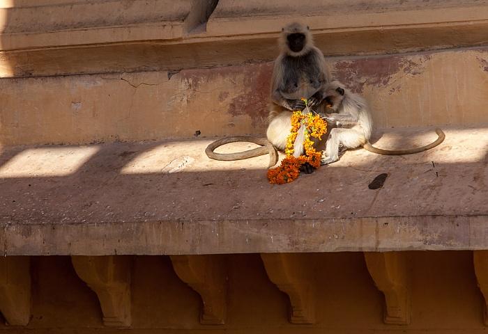 Jaipur Amber Fort: Affen