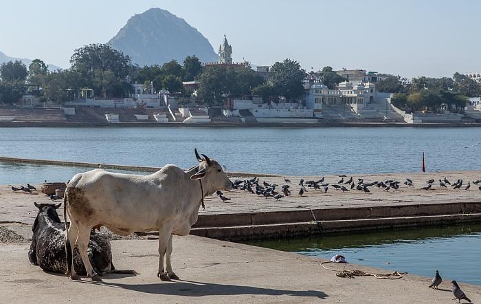 Pushkar Lake: Ghat - Heilige Kuh