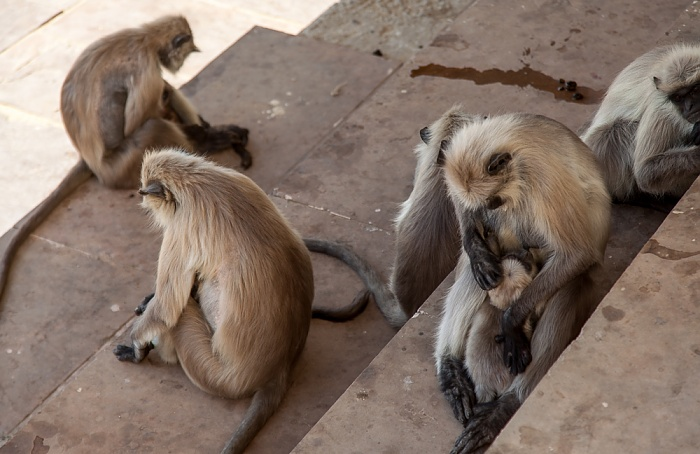 Pushkar Ghat: Paviane