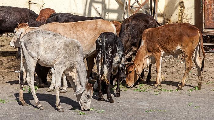 Pushkar Kühe