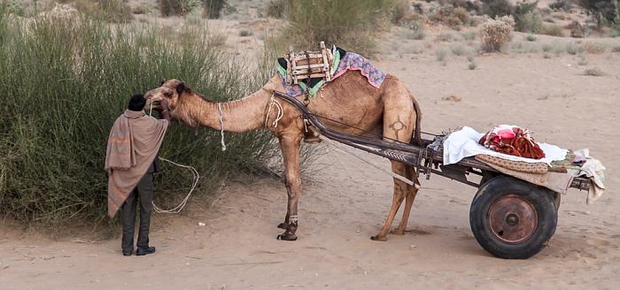 Khuri Wüste Thar (Desert National Park): Kamel