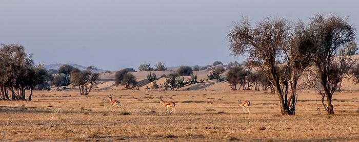 Dhoba Wüste Thar (Desert National Park): Indische Gazellen (Gazella bennettii, Chinkara)