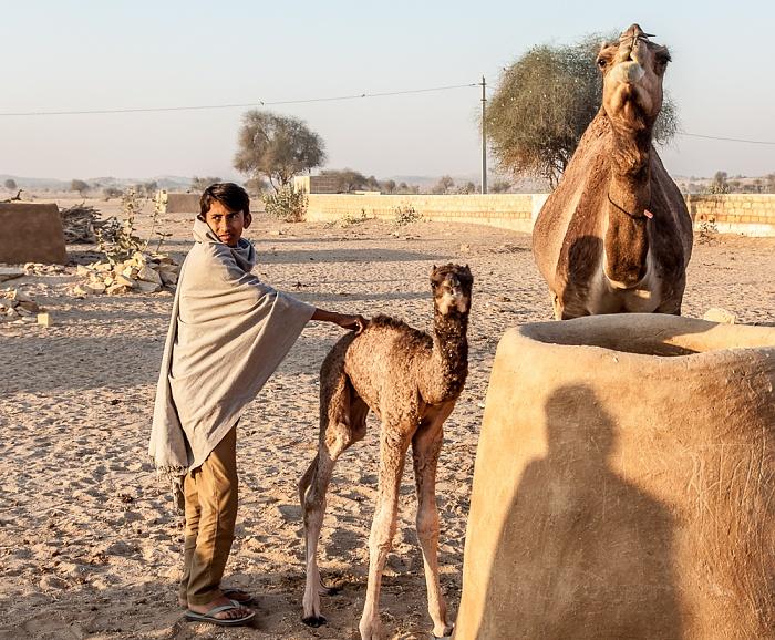 Dhoba Wüste Thar (Desert National Park): Kamel mit Nachwuchs