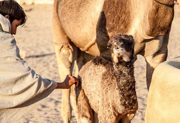 Dhoba Wüste Thar (Desert National Park): Kamelbaby