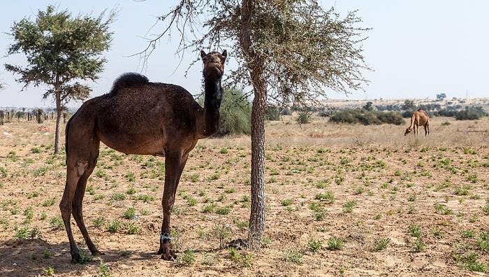 Wüste Thar: Kamele
