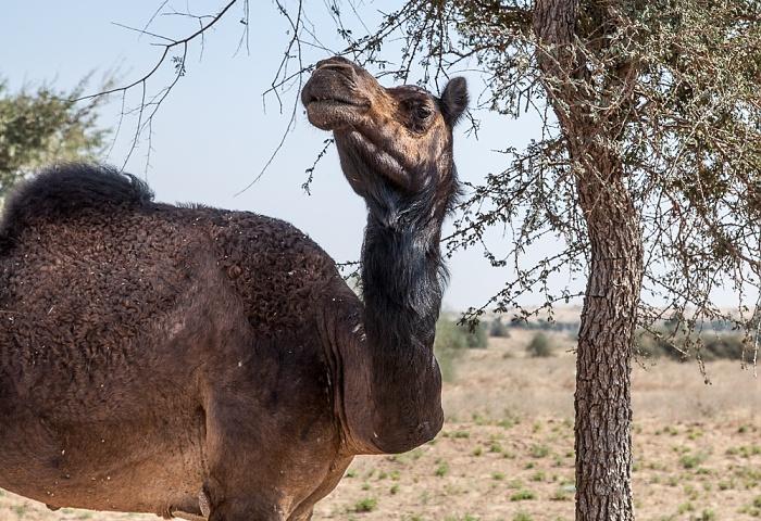 Wüste Thar: Kamel