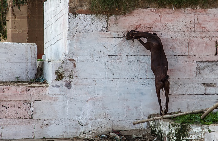 Varanasi Ghats: Chaowki Ghat - Ziege