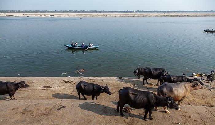 Varanasi Ghats: Nepali Ghat - Kühe Ganges