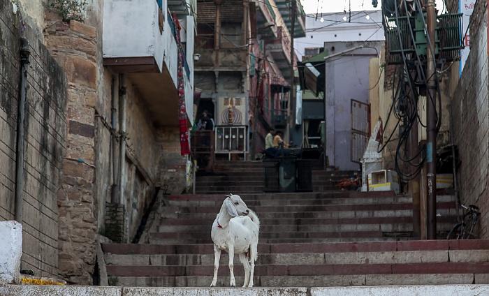 Varanasi Ghats: Ziege