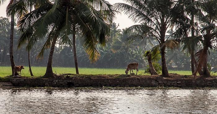 Backwaters Reisfelder, Rinder