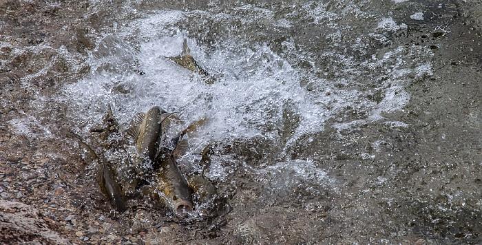 Bardolino Gardasee: Gardaseeforellen (Lachsforellen, Salmo carpio)