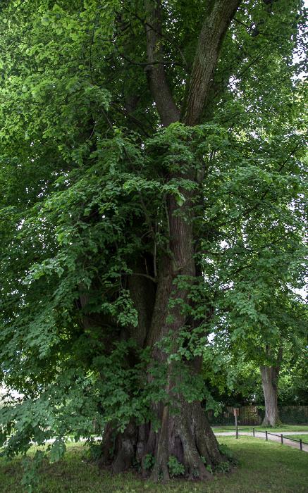 Fraueninsel Lindenhain: Tassilolinde (mehr als 1000 Jahre alt)