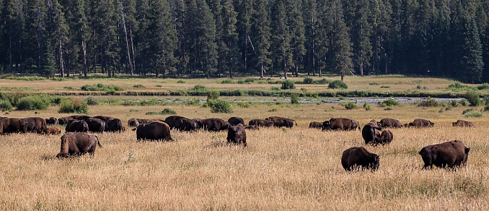 Yellowstone National Park Lamar Valley (Soda Butte Creek): Bisons