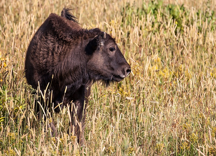 Yellowstone National Park Lamar Valley (Soda Butte Creek): Bison