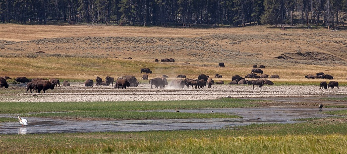 Alum Creek: Bisons Yellowstone National Park