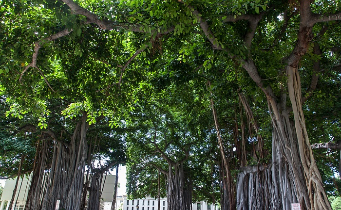 Downtown Honolulu: Hawaii Capital Historic District - Banyan-Feige (Banyanbaum, Ficus benghalensis)
