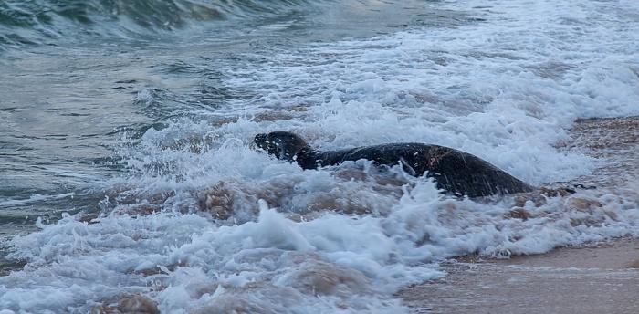 Kapaa Lae Nani Beach: Hawaii-Mönchsrobbe (Neomonachus schauinslandi, Laysan-Mönchsrobbe)