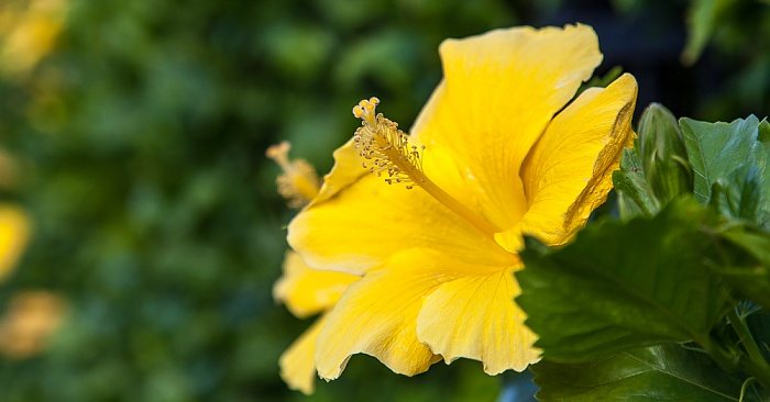 Kapaa Papaloa Road: Chinesischer Roseneibisch (Chinese hibiscus, Hibiscus rosa-sinensis)