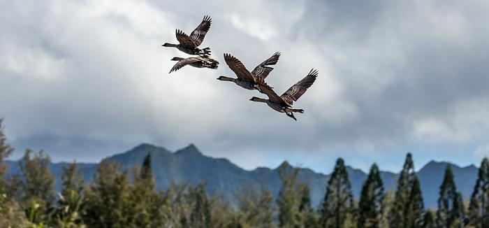 Kilauea Point National Wildlife Refuge Hawaiigänse (Nene, Branta sandvicensis)