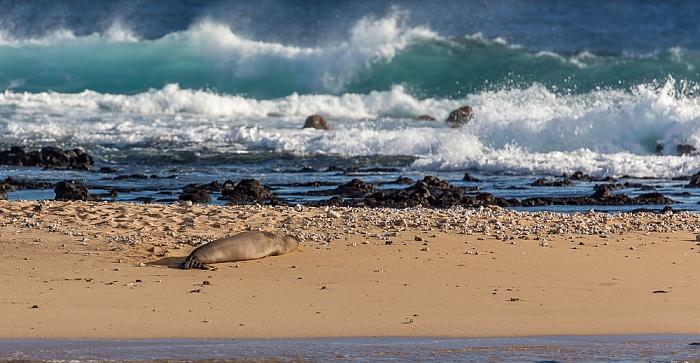 Koloa Poipu Beach Park: Hawaii-Mönchsrobbe (Neomonachus schauinslandi, Laysan-Mönchsrobbe)