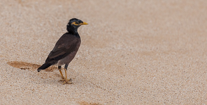 Makena Beach (Big Beach): Hirtenmaina (Hirtenstar, Common myna, Acridotheres tristis) Makena State Park