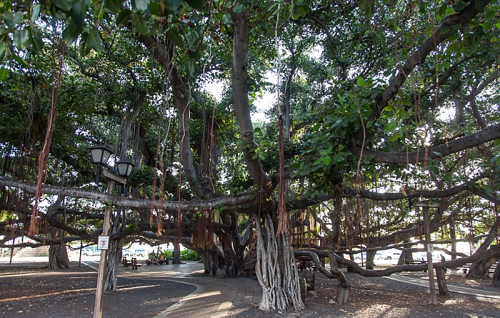 Lahaina Banyan Court Park: Banyan Tree