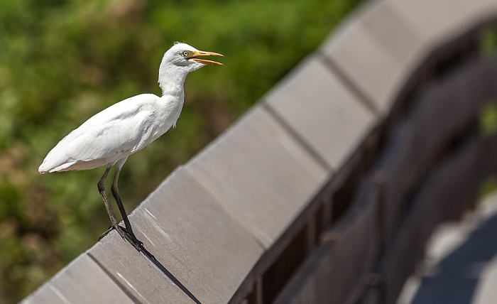 Kealia Pond National Wildlife Refuge: Boardwalk - Silberreiher (Ardea alba) Maalaea