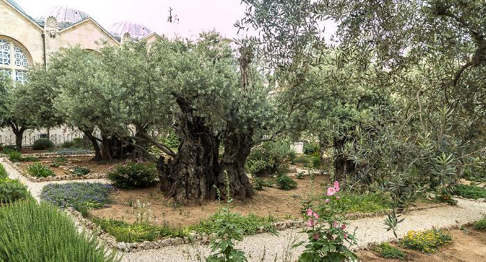 Jerusalem Garten Getsemani: Olivenbäume