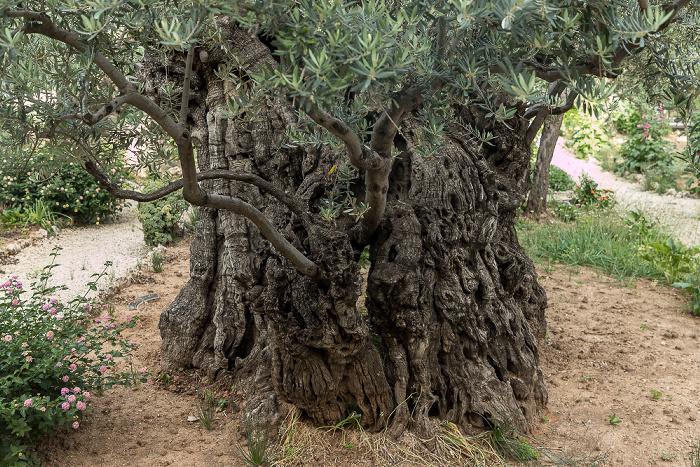 Garten Getsemani: Olivenbaum Jerusalem