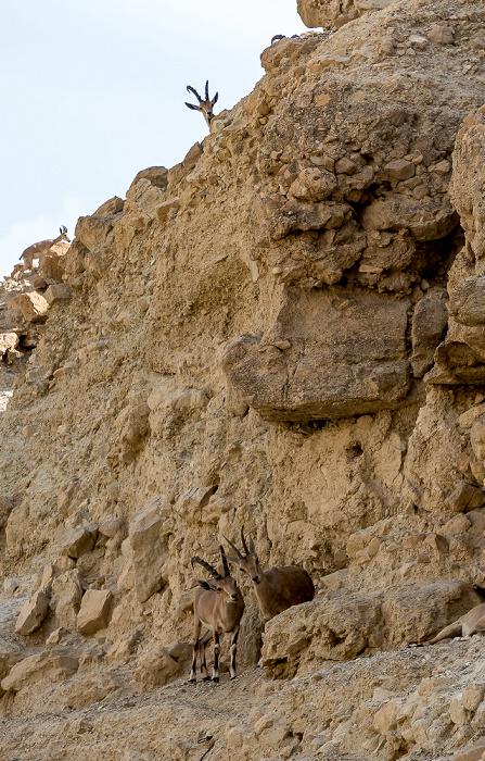 En Gedi Nature Reserve: Wadi David - Syrische Steinböcke (Nubische Steinböcke, Capra ibex nubiana)