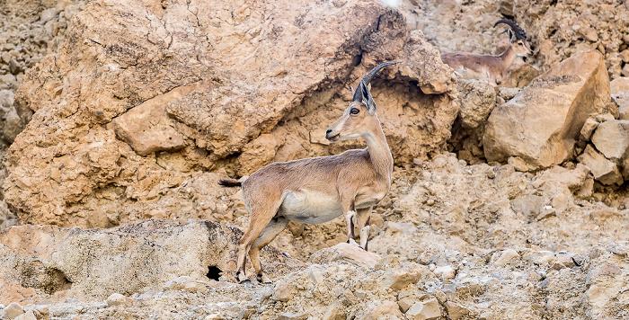 En Gedi Nature Reserve: Wadi David - Syrischer Steinbock (Nubischer Steinbock, Capra ibex nubiana)