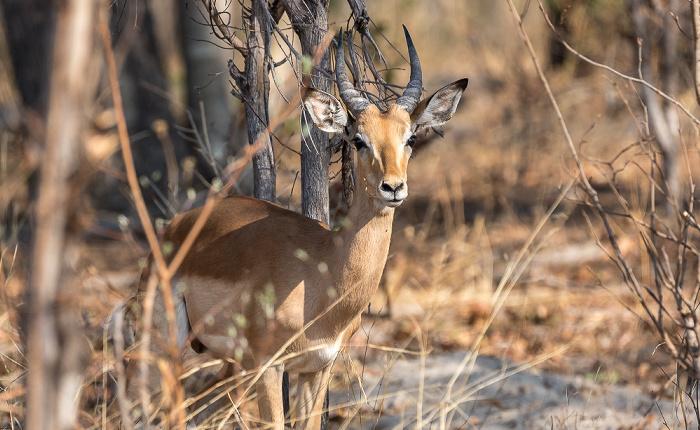 Sikumbi Forest Reserve Impala (Aepyceros)