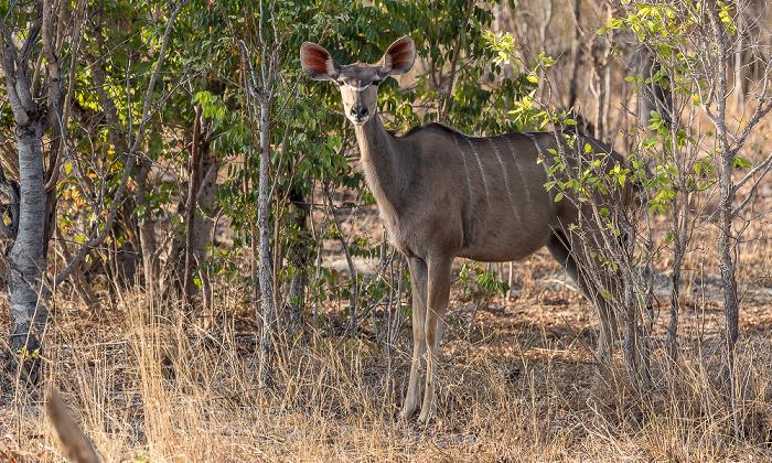 Sikumbi Forest Reserve Sambesi-Großkudu (Strepsiceros zambesiensis)
