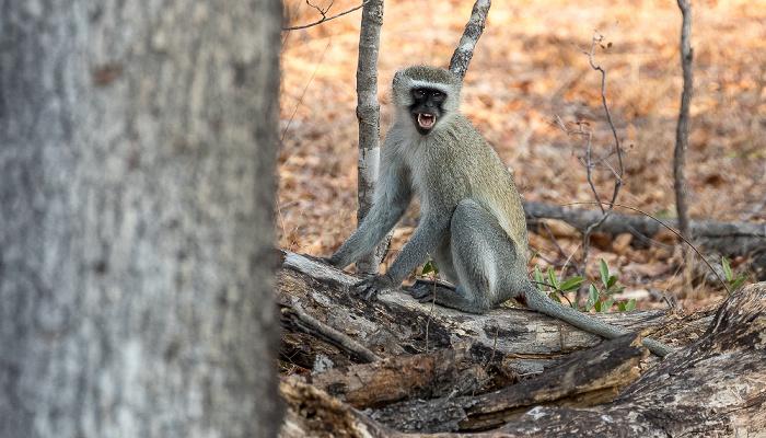 Sikumbi Forest Reserve Südliche Grünmeerkatze (Chlorocebus pygerythrus)