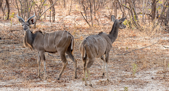 Sikumbi Forest Reserve Sambesi-Großkudus (Strepsiceros zambesiensis)