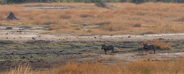 Hwange National Park Warzenschweine (Phacochoerus africanus)