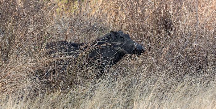 Hwange National Park Warzenschwein (Phacochoerus africanus)